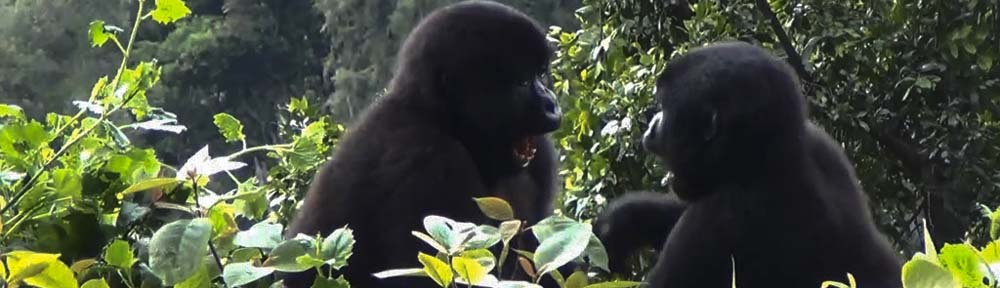Gorillas in Bwindi National Forest