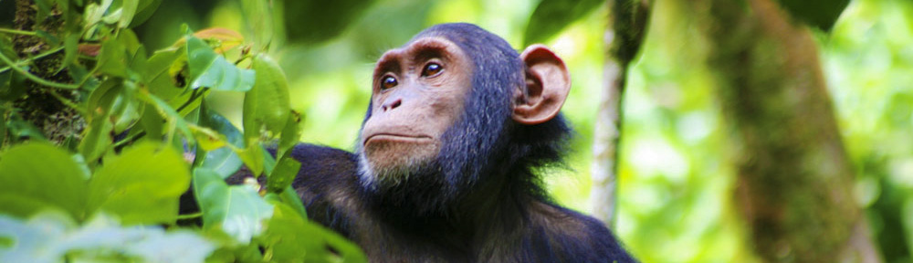 Kibale Chimpanzees