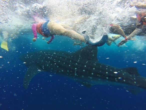Swimming next to a whale shark