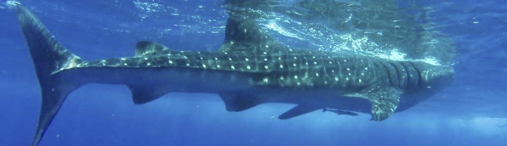 Swimming with Whale Sharks Via Grand Residences Cancun