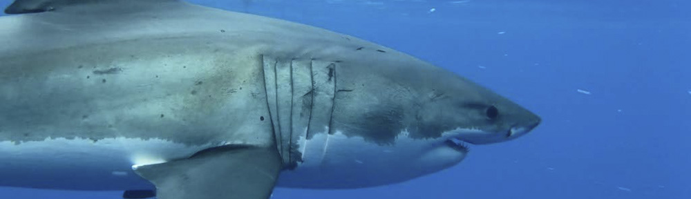 Great White Shark Dive with Islander Charters