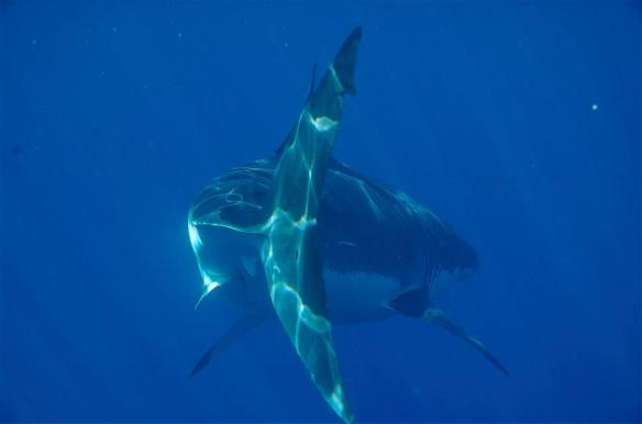 Great white shark in Mexico with Islander Charters