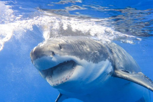 Great White Sharks with Islander Charters