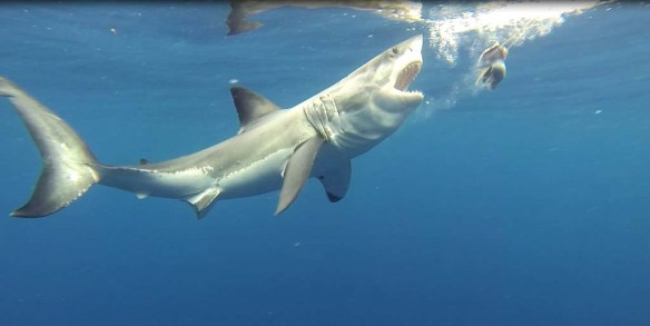 Great white shark eating