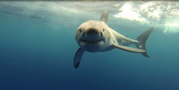 Great White Cage Dive