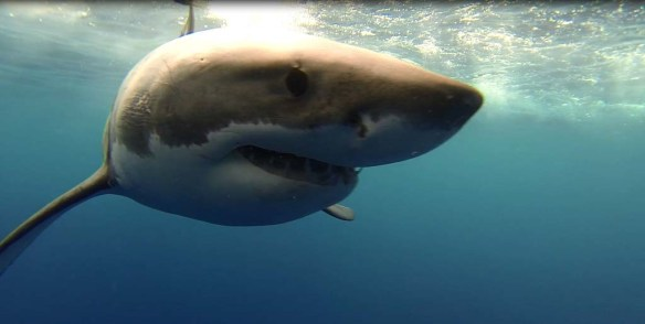 Close great white shark