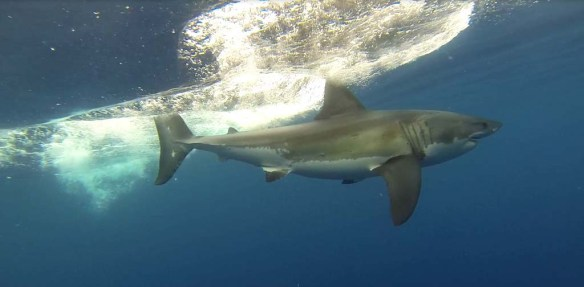 Islander Charters Great White Cage Dive