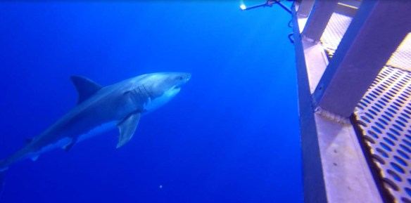Great white next to the cage