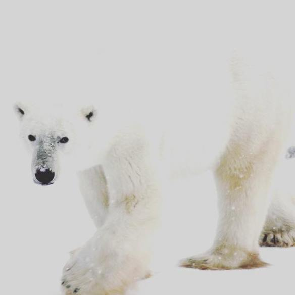 A polar bear blending in the snow in Churchill, Manitoba