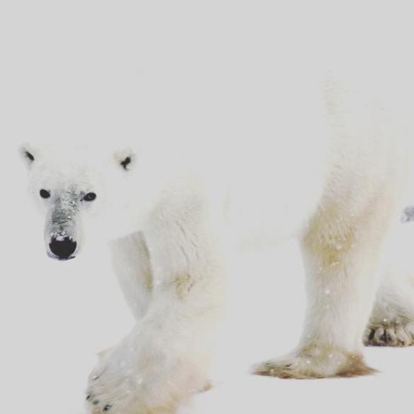 A polar bear blending in the snow in Churchill, Manitoba