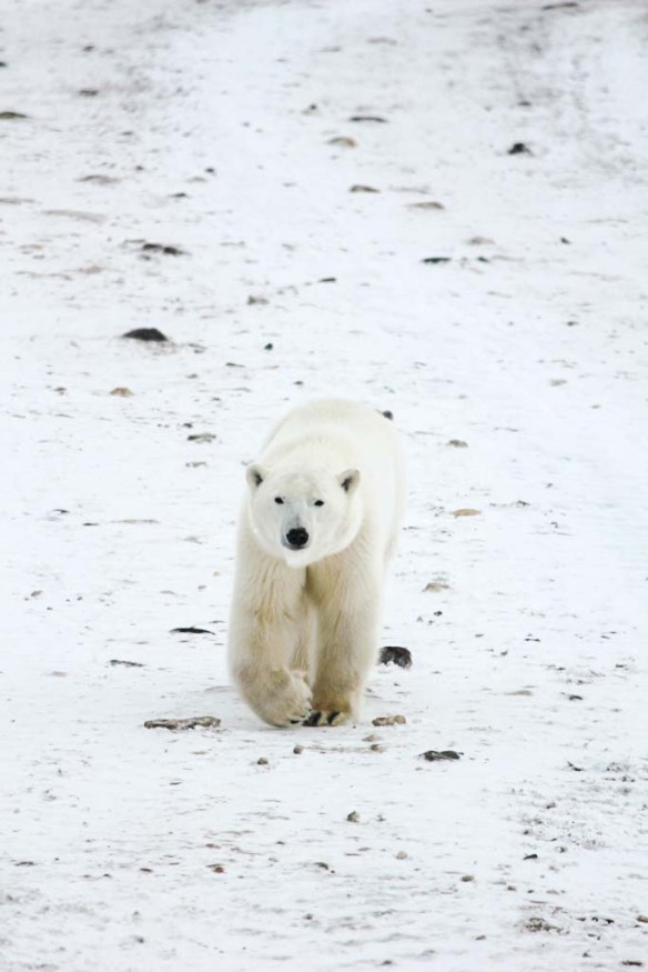 A polar bear walking down the street in Churchill, Manitoba