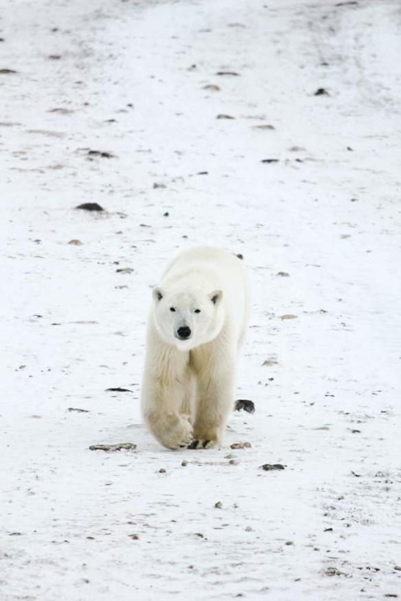 A polar bear walking down the street in Churchill, Manitoba
