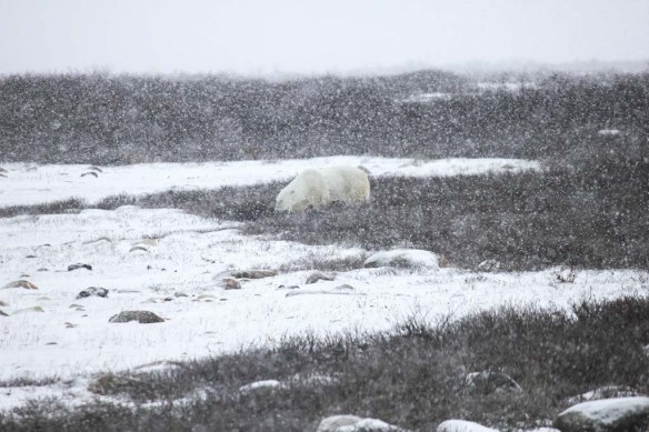 A polar bear in the snow in Churchill, Manitoba