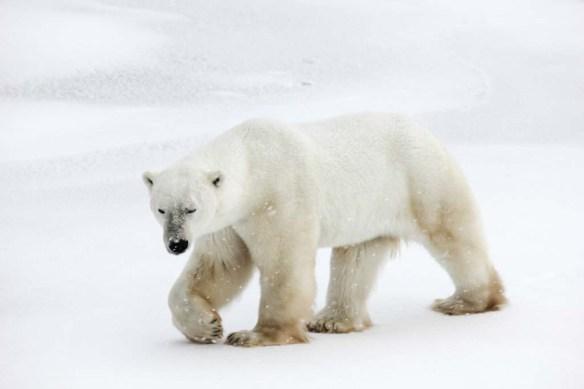 1000 pound polar bear in Churchill, Manitoba