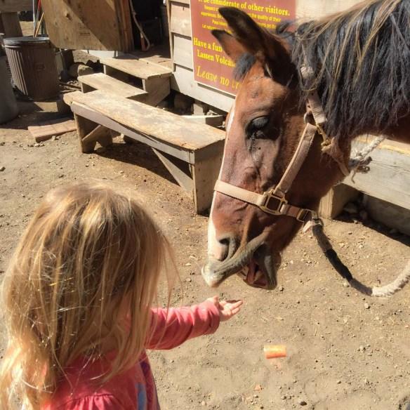 Feeding horses at Drakesbad Guest Ranch, Lassen Volcanic National Park