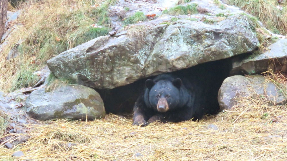 Bears at Parc Omega, Quebec