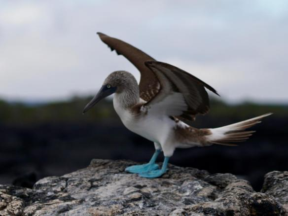 Boobies in the Galapagos Islands